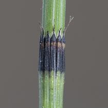 Rauzähniger Schachtelhalm  •  Equisetum × trachyodon. © Françoise Alsaker