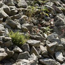 Alpen-Wimperfarn  •  Woodsia alpina. In einer Silikatschutthalde. © Wolfgang Bischoff