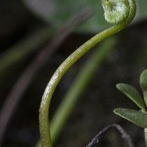 Vierblättriger Kleefarn  •  Marsilea quadrifolia. Die jungen Wedel sind spiralig eingerollt. © Françoise Alsaker