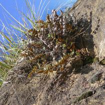 Pelzfarn  •  Notholaena marantae. Die Unterseite der Fiedern ist dicht mit braunroten Spreuschuppen bedeckt.  © Muriel Bendel