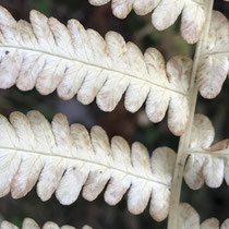 Bergfarn   •  Oreopteris limbosperma.  © Muriel Bendel
