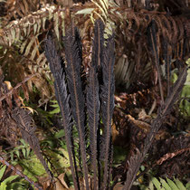 Straußfarn  •  Matteuccia struthiopteris. Die fertilen Blätter befinden sich in der Mitte der Rosette; sie werden bald braun und überwintern, während die sterilen Blätter im Herbst absterben. © Françoise Alsaker