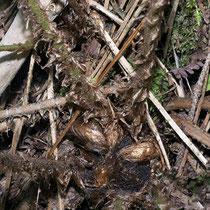 Schuppiger Wurmfarn  •  Dryopteris affinis Im August aufgenommen. © Françoise Alsaker