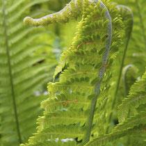 Straußfarn  •  Matteuccia struthiopteris. Sich entrollendes steriles Blatt; auf der Unterseite der Blattspindel sind die weißen, gekräuselten Haare zu sehen. © Muriel Bendel