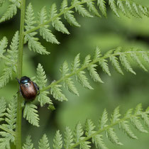 Wald-Frauenfarn  •  Athyrium filix-femina. Gartenlaubkäfer • Phyllopertha horticola © Françoise Alsaker