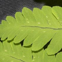 Eichenfarn  •  Gymnocarpium dryopteris. Die runden Sori des Eichenfarns besitzen keine Schleier und befinden sich nahe am Rand der Abschnitte. © Françoise Alsaker