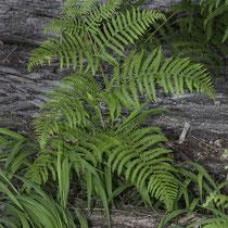 Adlerfarn  •  Pteridium aquilinum. Die Blätter des Adlerfarns sind 1–2,5 m lang (selten länger), die Blattspreite ist 2- bis 4-fach gefiedert. © Françoise Alsaker
