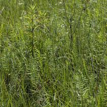 Sumpffarn  •  Thelypteris palustris.  © Françoise Alsaker