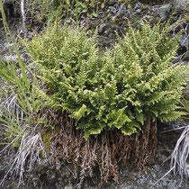 Keilblättriger Streifenfarn  •  Asplenium cuneifolium. Abhängig vom Lebensraum wächst der Keilförmige Streifenfarn in dichten Büscheln oder locker rasig. © Muriel Bendel