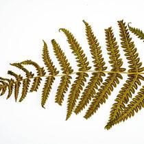 Bergfarn  •  Oreopteris limbosperma. Dieser Blattteil wurde nach ca. 60 Jahren in einem Buch gefunden.  © Françoise Alsaker