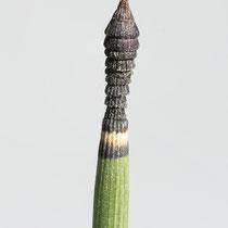 Winter-Schachtelhalm  •  Equisetum hyemale. Bei diesem Winter-Schachtelhalm sind die Zähne der Blattscheiden an der Sprossspitze zu einer «Pagodenspitze» zusammengeschoben. © Françoise Alsaker