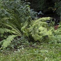 Straußfarn  •  Matteuccia struthiopteris. Im August in Norwegen in einem feuchten Graben aufgenommen.  © Françoise Alsaker
