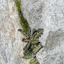 Schriftfarn  •  Asplenium ceterach. Der Schriftfarn besiedelt Mauern und Felsspalten in wärmeren Lagen. © Françoise Alsaker