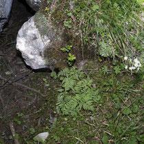 Berg-Blasenfarn  •  Cystopteris montana.  © Françoise Alsaker
