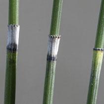 Moores Schachtelhalm  •  Equisetum × moorei. Die unteren Blattscheiden sehen denjenigen des Winter-Schachtelhalms ähnlich. © Françoise Alsaker