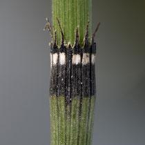 Rauzähniger Schachtelhalm  •  Equisetum × trachyodon. Der Rauzähnige Schachtelhalm ist die Hybride zwischen dem Winter-Schachtelhalm (E. hyemale) und dem Bunten Schachtelhalm (E. variegatum). © Françoise Alsaker