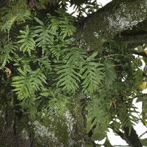 Gallischer Tüpfelfarn  •  Polypodium cambricum. Epiphytisch auf einer Stechpalme (Ilex aquifolium) wachsend. © Françoise Alsaker