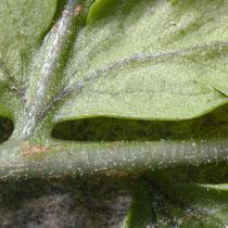 Breiter Wurmfarn  •  Dryopteris dilatata. Die Fiedern sind am Grund grün; die Spindeln und die Blattnerven auf der Spreitenunterseite sind mit mehr oder weniger zahlreichen Drüsen besetzt, selten sind sie kahl. © Françoise Alsaker