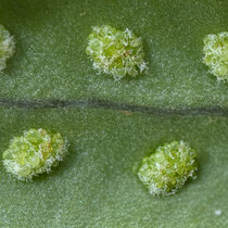 Gallischer Tüpfelfarn  •  Polypodium cambricum. Junge Sori  mit weißen Paraphysen; Mitte November. © Françoise Alsaker