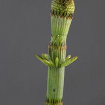 Schlamm-Schachtelhalm  •  Equisetum fluviatile.  © Françoise Alsaker
