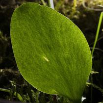 Gemeine Natternzunge  •  Ophioglossum vulgatum. Diese Pflanze wächst wild in einem Garten in der Nähe von Lausanne. © Françoise Alsaker