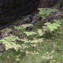 """Eichenfarn  •  Gymnocarpium dryopteris. """" In Trondheim, Norwegen aufgenommen."""" © Françoise Alsaker"""