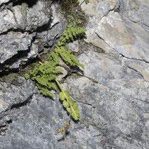 Zierlicher Wimperfarn  •  Woodsia pulchella. Der Zierliche Wimperfarn wächst meist in Kalkfelsspalten; hier mit der Echten Mondraute (Botrychium lunaria). © Françoise Alsaker