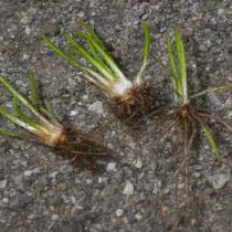 See-Brachsenkraut.  •  Isoëtes lacustris Die unregelmäßigen Querwände der Luftkammern sind als kleine weiße Striche an den Blättern erkennbar. © Françoise Alsaker