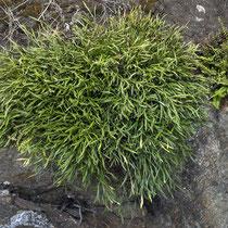Nordischer Streifenfarn  •  Asplenium septentrionale. Der Nordische Streifenfarn bildet dichte Rosetten, die auf den ersten Blick etwas «grasartig» aussehen.  © Françoise Alsaker
