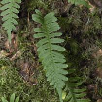 Gemeiner Tüpfelfarn  •  Polypodium vulgare.  © Françoise Alsaker