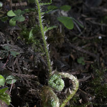 Gelappter Schildfarn  •  Polystichum aculeatum.  © Françoise Alsaker