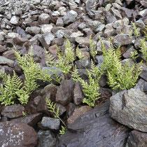 Keilblättriger Streifenfarn  •  Asplenium cuneifolium. In Schutthalden wächst der Keilförmige Streifenfarn oft locker rasig. © Muriel Bendel