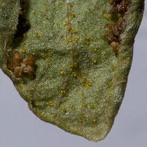 Bergfarn  •  Oreopteris limbosperma. Die  gelblichen Drüsen auf der Unterseite sind nach 60 Jahren noch deutlich zu sehen. © Françoise Alsaker