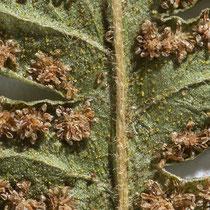 Bergfarn  •  Oreopteris limbosperma. Die  gelblichen Drüsen auf der Unterseite und die weißen Haare auf der Spindel sind nach 60 Jahren noch deutlich zu sehen. © Françoise Alsaker
