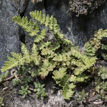 Südlicher Wimperfarn  •  Woodsia ilvensis. Der Südliche Wimperfarn wächst auf saurem Substrat und besiedelt sickerfrische Felsspalten und Blockschutt. © Françoise Alsaker