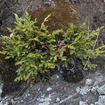Deutscher Streifenfarn  •  Asplenium × alternifolium. Die Blattspreite ist 1-fach gefiedert oder nur am Grund 2-fach gefiedert; abgebildet ist nothosubsp. alternifolium. © Françoise Alsaker