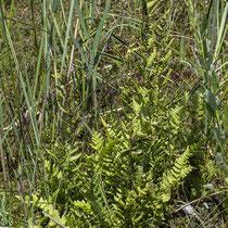 Kamm-Wurmfarn  •  Dryopteris cristata. Die fertilen Blätter stehen steif aufrecht, die sterilen sind kleiner und schräg ausgebreitet. © Françoise Alsaker
