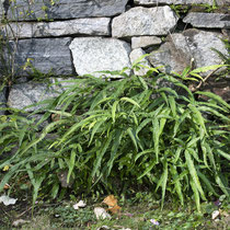 Kretischer Saumfarn  •  Pteris cretica. Spontan etablierter Kretischer Saumfarn in einem Privatgarten im Tessin. © Françoise Alsaker