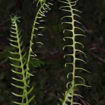 Rippenfarn  •  Struthiopteris spicant / Blechnum spicant. Junge fertile Blätter. © Françoise Alsaker