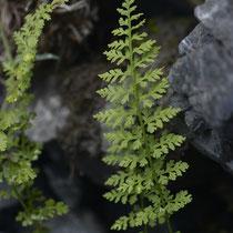 Alpen-Blasenfarn  •  Cystopteris alpina. Die Blattspreite ist 2- bis 3-fach gefiedert, die Abschnitte sind schmal und bandartig.  © Wolfgang Bischoff