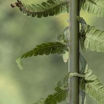 Straußfarn  •  Matteuccia struthiopteris. In der unteren Hälfte der Blattspreite sind die innersten, nach oben gerichteten Abschnitte über die Unterseite der Blattspindel gekrümmt. © Françoise Alsaker