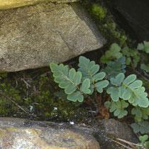 Pelzfarn  •  Notholaena marantae. Junge Pflanzen in einer Felsnische. © Muriel Bendel