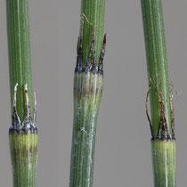 Moores Schachtelhalm  •  Equisetum × moorei. Die oberen Blattscheiden sehen denjenigen des Ästigen Schachtelhalms ähnlich. © Françoise Alsaker