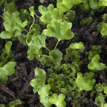 Der Schwarzstielige Streifenfarn  • Asplenium adiantum-nigrum ist sehr schnell gewachsen. Zustand nach  4 Monaten.  © Françoise Alsaker