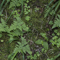 Ruprechtsfarn  •  Gymnocarpium robertianum. Auf steinigen Böden wächst der Ruprechtsfarn locker rasig. © Françoise Alsaker