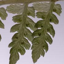 Gebirgs-Frauenfarn  •  Pseudathyrium alpestre / Athyrium distentifolium. Die Blattnerven führen bis zum Rand der Fiederchen. © Françoise Alsaker