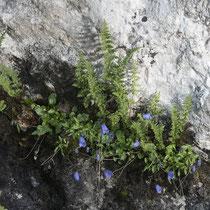 Alpen-Blasenfarn  •  Cystopteris alpina. Der Alpen-Blasenfarn besiedelt meist feuchte, kalkreiche Felsspalten.  © Françoise Alsaker