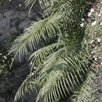 Gebänderter Saumfarn  •  Pteris vittata. Der Gebänderte Saumfarn wächst in feuchten Stein- und Mauerritzen; hier im Tessin. © Françoise Alsaker