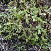 Schweizer Moosfarn  •  Selaginella helvetica. Sterile Sprosse des Schweizer Moosfarns. © Muriel Bendel