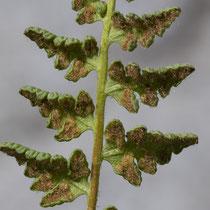 Alpen-Wimperfarn  •  Woodsia alpina. Ein Gattungsmerkmal aller Wimperfarne sind die in haarförmige Fransen aufgelösten Schleier. © Françoise Alsaker
